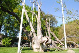 Запорожский дуб не лишили статуса ботанической памятки