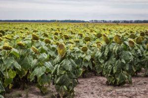 В Запорожской области фермеры рассорились из-за участка земли с подсолнухом