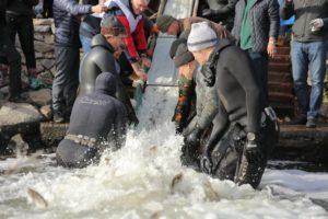 В Запорожье в рамках экологической акции в Днепр выпустили две тонны мальков  – ФОТО