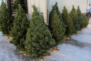 В Запорожье начали готовиться к продаже новогодних елок