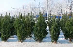 В Запорожской области лесхозы продали почти 4500 заготовленных елок