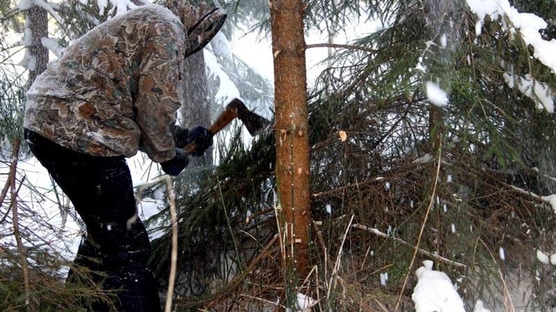 Запорожцам на заметку: на сколько будут штрафовать за незаконную вырубку елок и сосен