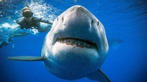 Дайверы провели подводное погружение и встретились с белой акулой у берегов Гавайев - ФОТО