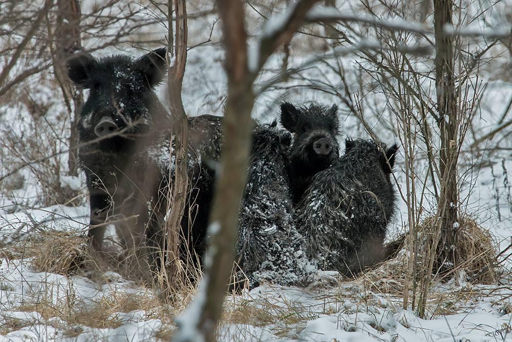 Глазам не верю: на Рождество на Хортице заметили диких кабанов и оленей - ФОТО