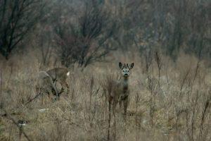 Олени, кабаны и птицы: запорожский фотограф показал обитателей заповедника «Хортица» - ФОТО