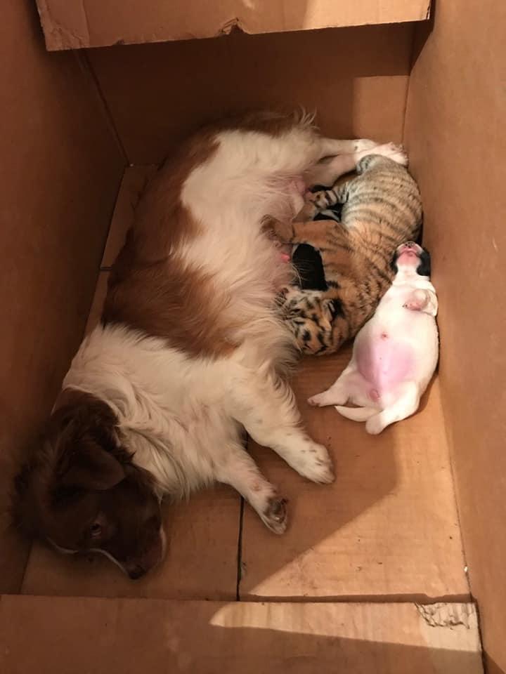 Под Запорожьем маленький тигренок из частного зоопарка, которого бросила мама, кушает вместе с щенятами – ВИДЕО