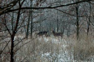 Олени, кабаны, лошади и птицы: как живут обитатели заповедника «Хортица» - ВИДЕО
