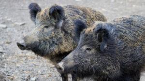 В Запорожье на Хортице от африканской чумы погибли дикие кабаны