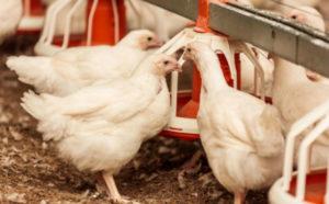 В Запорожской области при пожаре сгорели цыплята-бройлеры