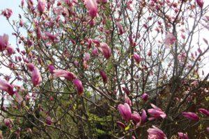 В Запорожском ботаническом саду высадили редкий вид магнолий - ФОТО