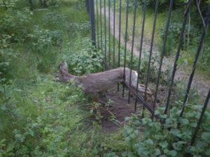 В Запорожье на Хортице косуля застряла в заборе: ее освободили спасатели - ФОТО