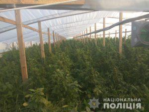 В Запорожской области выращивали коноплю для сбыта в оккупированный Крым: стоимость изъятого составила 70 миллионов гривен - ФОТО