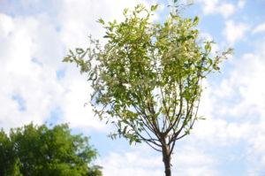 В Запорожском детском ботаническом саду появились уникальные ивы-сакуры - ФОТО
