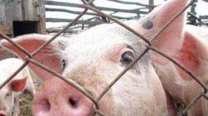 На свинофермі в Запорізькій області виявили спалах африканської чуми