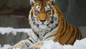В популярном зоопарке Бердянска сняли жизнь амурских тигров