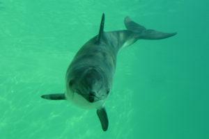 В Азовському морі виросла популяція дельфінів