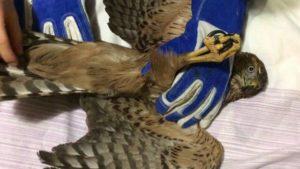 Запорізька зооволонтерка збирає гроші на порятунок двох яструбів (ФОТО)
