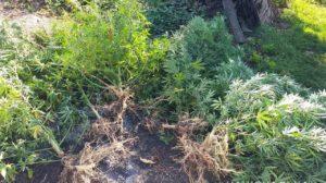 Жители Запорожской области организовали наркоплантации во дворе своего дома – ФОТО