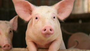 В Запорізькій області знову зафіксували спалах африканської чуми свиней