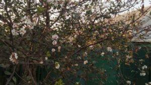 В Запорожской области расцвела вишня, - ФОТО