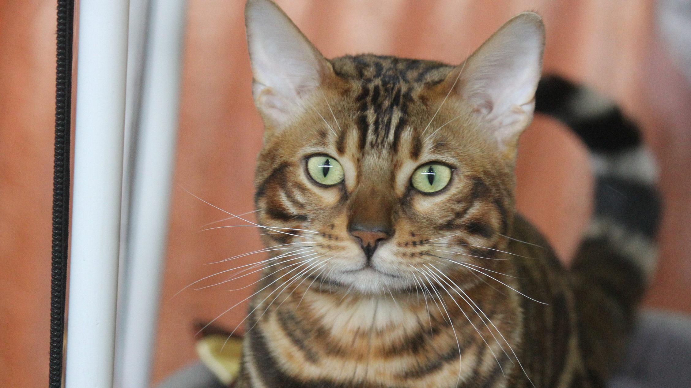 Мейн-куны, бенгалы, сфинксы: фоторепортаж с международной выставки кошек в Запорожье