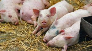У селі Запорізької області через африканську чуму спалили майже 6 тисяч свиней