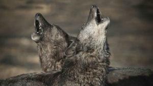 В Запорожской области хищники нападают на домашний скот