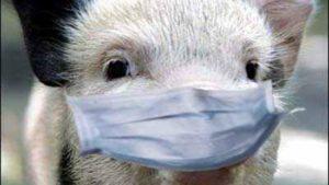 В Оріхівському районі знято карантин щодо африканської чуми свиней
