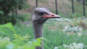 В Запорожье агрессивные страусы напали на кошачий приют, — ФОТО