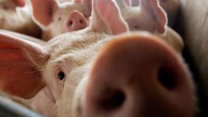 Из-за африканской чумы в Запорожской области было уничтожено более 10 тысяч свиней