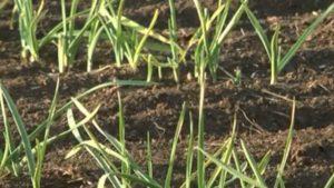 Запорожский фермер вывел новый вид чеснока и назвал его в честь тещи