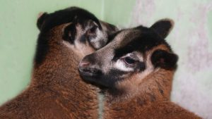 В мелитопольском зоопарке родились карликовые барашки, — ФОТО