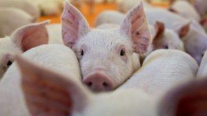 Зі свиноферми в Запорізькій області зняли карантин
