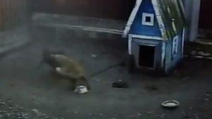 В селі Запорізької області скажений лис напав на домашніх тварин, — ВІДЕО