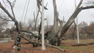 Как умирает легендарный 700-летний Запорожский дуб, – ФОТОРЕПОРТАЖ