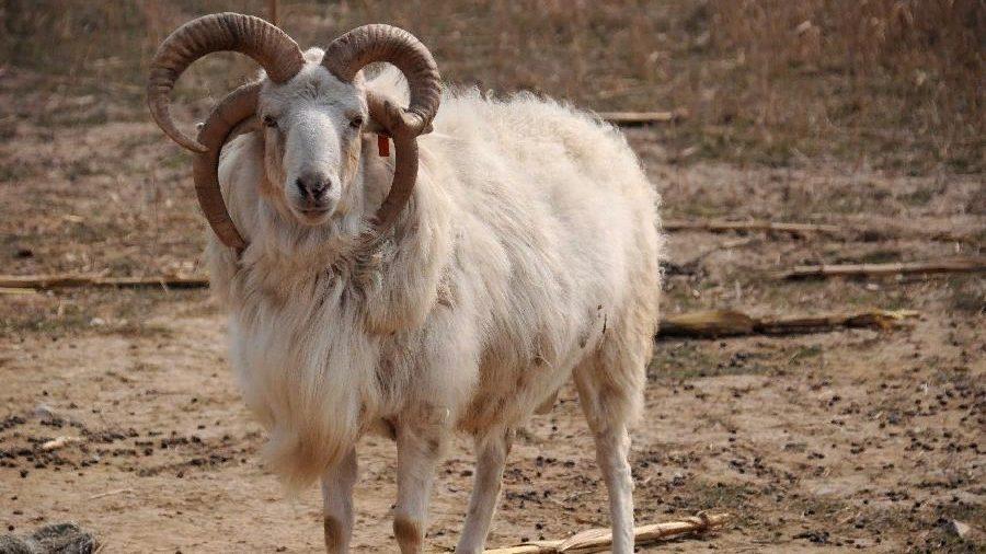 В Мелітополі народилася багаторога вівця, — ФОТО, ВІДЕО