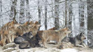 В Запорізькій області помітили зграю вовків: населення попереджають про небезпеку