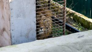 З Василівки до Африки відправили першого лева, — ФОТО