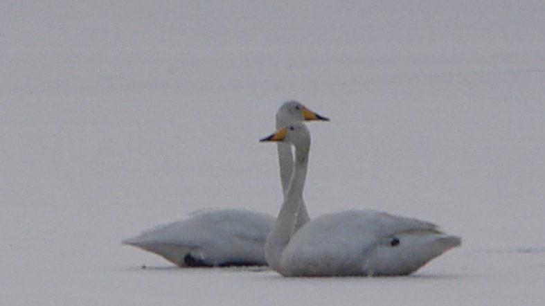 На Запоріжжі врятували лебедів із замерзлого ставка