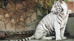 В бердянском зоопарке родились белые тигрята, — ВИДЕО