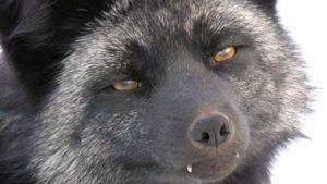 В мелитопольском зоопарке родились щенки чернобурой лисицы, — ФОТО
