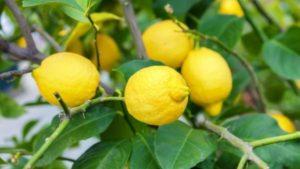 Весна: в запорожском ботсаду начали цвести цитрусовые, — ФОТО