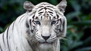 Запоріжцям пропонують дати імена білим тигренятам, які народились в бердянському зоопарку