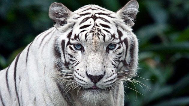 Запорожцам предлагают дать имена белым тигрятам, которые родились в бердянском зоопарке