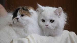 Сфінкси, манчкіни і бобтейли: в Запоріжжі на виставці показали котів з усієї України, – ФОТОРЕПОРТАЖ