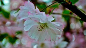 В запорожском ботаническом саду расцвела ранняя сакура, — ФОТО