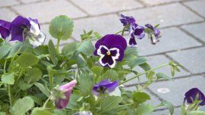 В Запоріжжі висадять чотири тисячі квітів