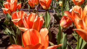 В запорізькому ботсаду буйно квітнуть тюльпани, — ФОТО
