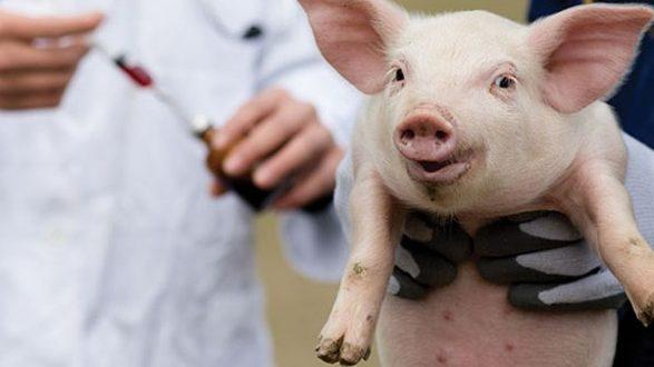 В Мелітопольському районі зафіксували африканську чуму свиней