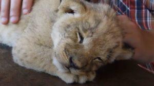 Ежедневно нужно 10 тысяч гривен: Васильевский центр реабилитации хищных животных просит о помощи
